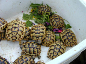 Horsefield Tortoise Care Guide Sheet