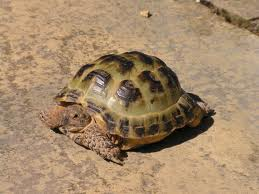 information about Horsefield Tortoises