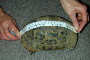 How Big Do Horsefield Tortoises Get?