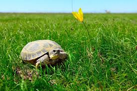 Steppe Tortoise care Guide