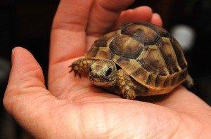 Testudo Tortoise Graeca Species