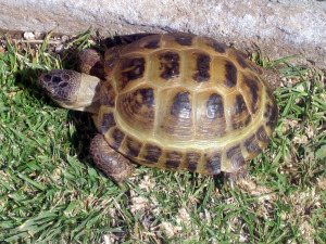 The Central Asian Tortoise