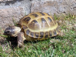 The Horsefield/Russian Tortoise
