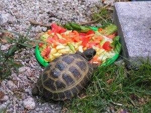 Also known as the Horsfield Tortoise or the Central Asian Tortoise it ...