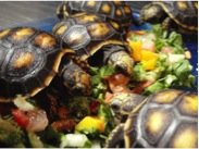 Horsefield Tortoise Food and Diet