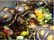Horsefield Tortoise Food and Diet