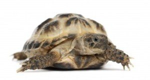 horsefield tortoise for sale