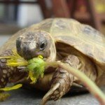 Horsefield Tortoise Care