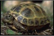 Horsefield Tortoise Facts