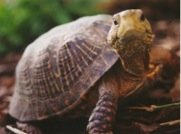 My Horsefield Tortoise is Not Eating Right or Bladder Stones