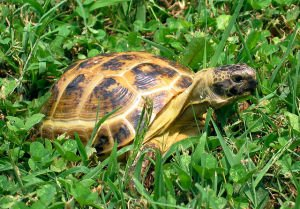 A Quick Guide on How to Take Care of the Horsefield Tortoise