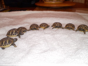 Sale on Baby Horsefield Tortoise