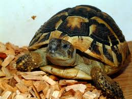Hermann's Tortoise