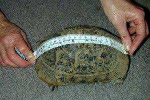 How Big Do Horsefield Tortoises Get?