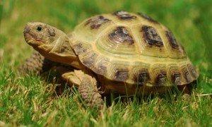 What Is A Horsefield Tortoises Natural Habitat?