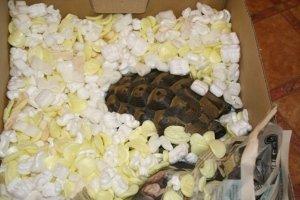 Russian Tortoise Hibernation