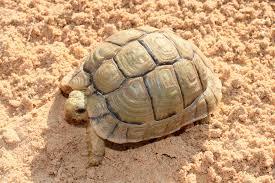 Kleinmanns Tortoise care