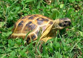 Should I get a Horsefield tortoise pet?