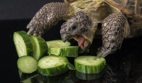 russian tortoise diet
